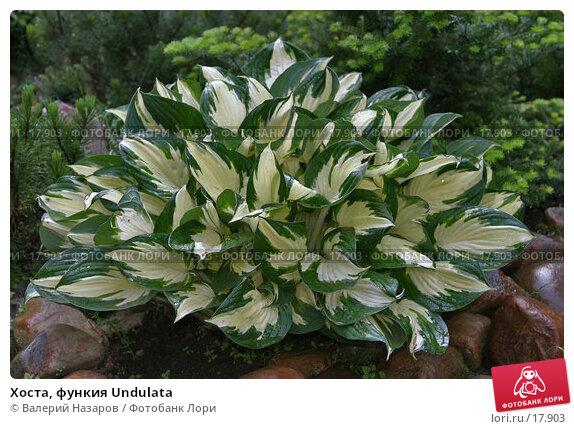 Купить «Хоста, функия Undulata», фото № 17903, снято 25 июня 2006 г. (c) Валерий Назаров / Фотобанк Лори