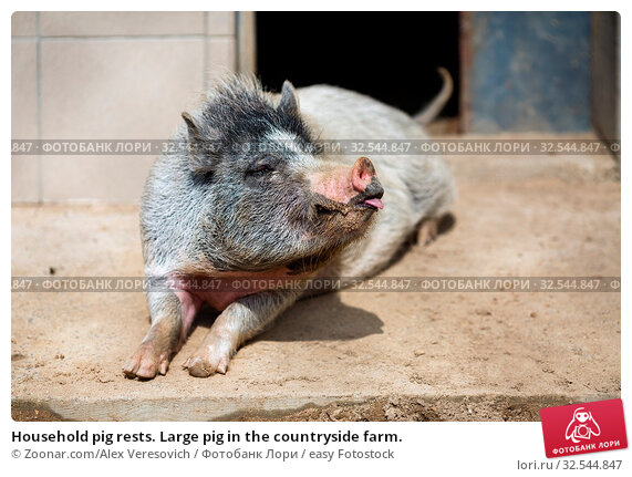 Купить «Household pig rests. Large pig in the countryside farm.», фото № 32544847, снято 7 декабря 2019 г. (c) easy Fotostock / Фотобанк Лори
