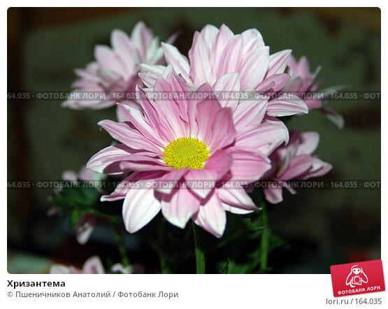 Хризантема, фото № 164035, снято 10 ноября 2007 г. (c) Пшеничников Анатолий / Фотобанк Лори