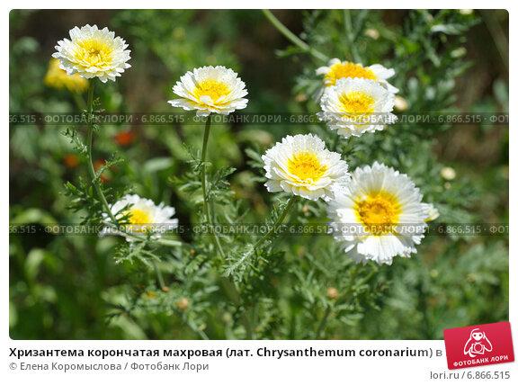 Купить «Хризантема корончатая махровая (лат. Chrysanthemum coronarium) в капельках дождя», эксклюзивное фото № 6866515, снято 23 июля 2014 г. (c) Елена Коромыслова / Фотобанк Лори