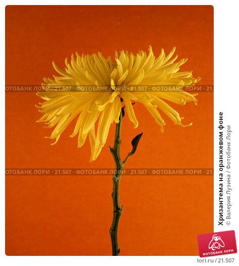 Купить «Хризантема на оранжевом фоне», фото № 21507, снято 6 марта 2007 г. (c) Валерия Потапова / Фотобанк Лори