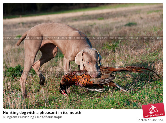 Купить «Hunting dog with a pheasant in its mouth», фото № 6383151, снято 20 марта 2019 г. (c) Ingram Publishing / Фотобанк Лори