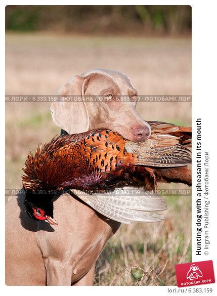 Купить «Hunting dog with a pheasant in its mouth», фото № 6383159, снято 24 февраля 2019 г. (c) Ingram Publishing / Фотобанк Лори
