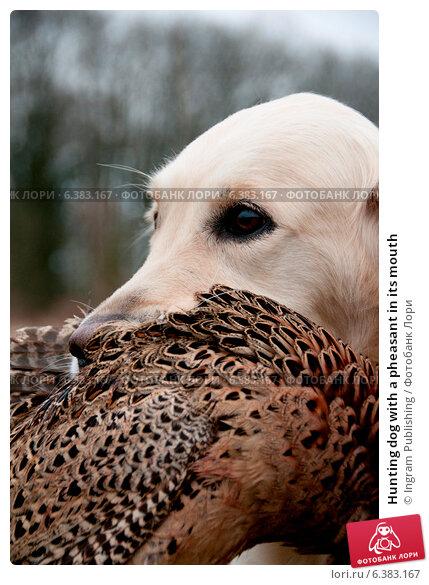 Купить «Hunting dog with a pheasant in its mouth», фото № 6383167, снято 22 февраля 2019 г. (c) Ingram Publishing / Фотобанк Лори