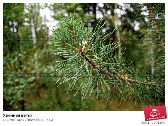 Хвойная ветка, эксклюзивное фото № 201899, снято 15 сентября 2007 г. (c) Alexei Tavix / Фотобанк Лори