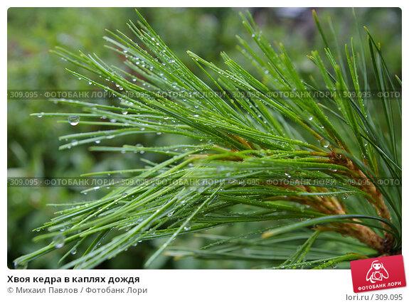 Купить «Хвоя кедра в каплях дождя», фото № 309095, снято 27 июня 2007 г. (c) Михаил Павлов / Фотобанк Лори