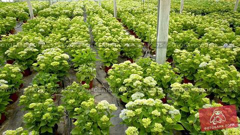 Купить «Hydrangea. Green plantation of new-blown flowers cultivated in greenhouse», видеоролик № 30943675, снято 26 апреля 2019 г. (c) Яков Филимонов / Фотобанк Лори