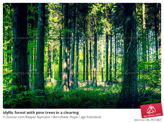 Idyllic forest with pine trees in a clearing. Стоковое фото, фотограф Zoonar.com/Kasper Nymann / age Fotostock / Фотобанк Лори