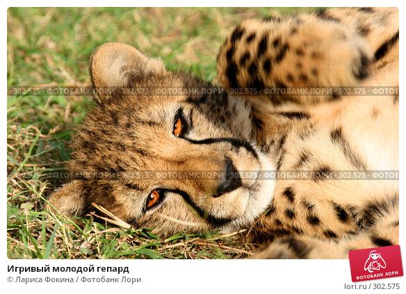 Купить «Игривый молодой гепард», фото № 302575, снято 15 мая 2008 г. (c) Лариса Фокина / Фотобанк Лори