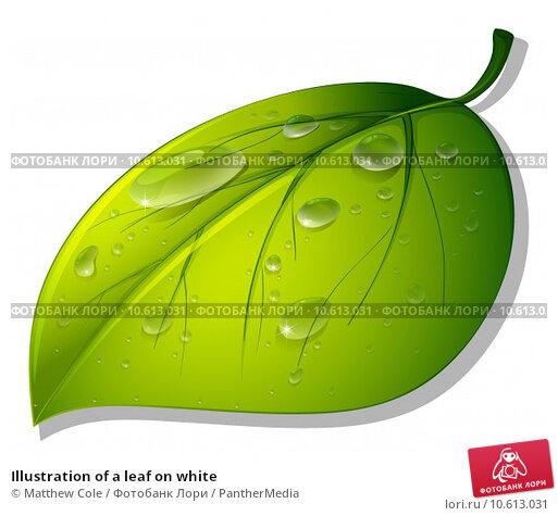 Illustration of a leaf on white. Стоковая иллюстрация, иллюстратор Matthew Cole / PantherMedia / Фотобанк Лори