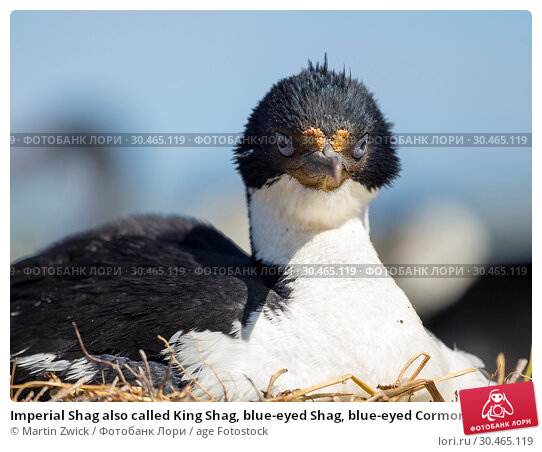 Imperial Shag also called King Shag, blue-eyed Shag, blue-eyed Cormorant (Phalacrocorax atriceps or Leucarbo atriceps). South America, Falkland Islands, January. Стоковое фото, фотограф Martin Zwick / age Fotostock / Фотобанк Лори