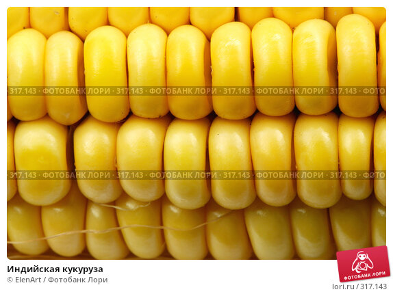 Индийская кукуруза, фото № 317143, снято 28 октября 2016 г. (c) ElenArt / Фотобанк Лори