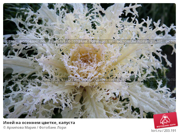 Купить «Иней на осеннем цветке, капуста», фото № 203191, снято 10 ноября 2007 г. (c) Архипова Мария / Фотобанк Лори