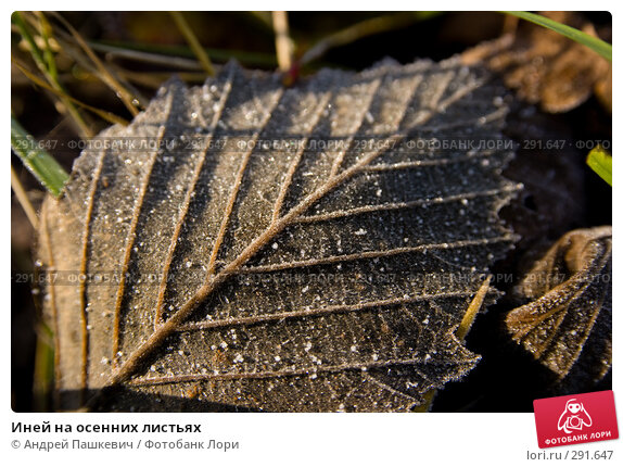 Иней на осенних листьях, фото № 291647, снято 24 апреля 2017 г. (c) Андрей Пашкевич / Фотобанк Лори