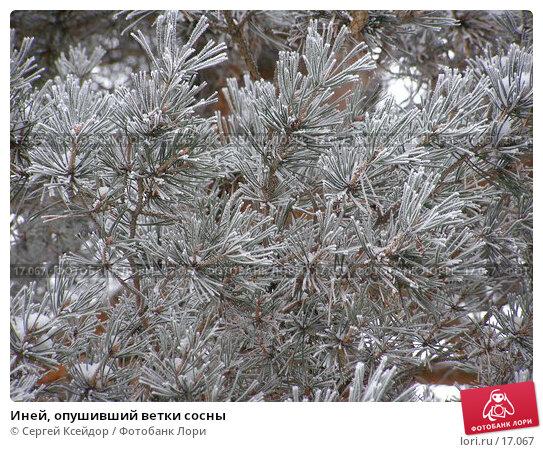 Купить «Иней, опушивший ветки сосны», фото № 17067, снято 25 января 2007 г. (c) Сергей Ксейдор / Фотобанк Лори