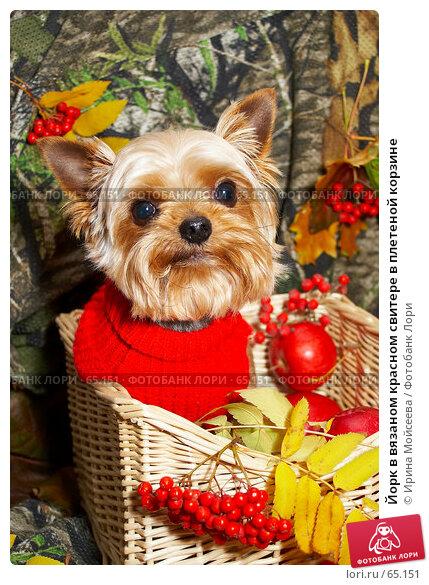Йорк в вязаном красном свитере в плетеной корзине, фото № 65151, снято 5 октября 2006 г. (c) Ирина Мойсеева / Фотобанк Лори