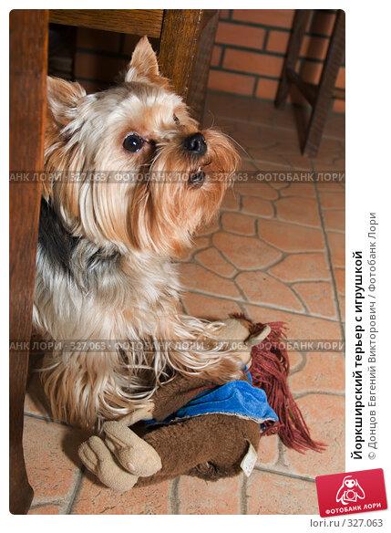 Йоркширский терьер с игрушкой, фото № 327063, снято 23 февраля 2008 г. (c) Донцов Евгений Викторович / Фотобанк Лори