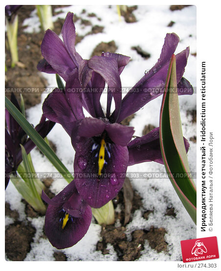 Купить «Иридодиктиум сетчатый - Iridodictium reticulatum», фото № 274303, снято 5 мая 2007 г. (c) Беляева Наталья / Фотобанк Лори