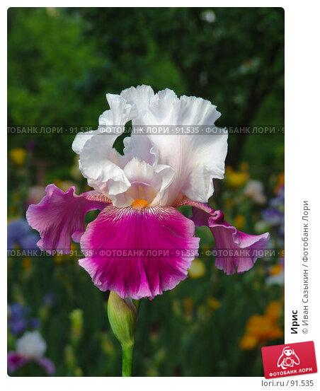 Купить «Ирис», фото № 91535, снято 19 мая 2005 г. (c) Иван Сазыкин / Фотобанк Лори