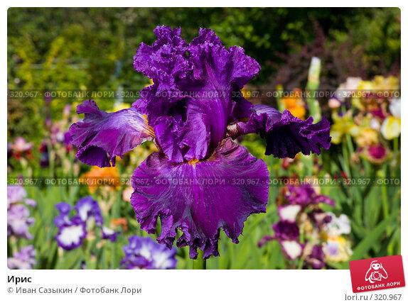Ирис, фото № 320967, снято 23 мая 2008 г. (c) Иван Сазыкин / Фотобанк Лори
