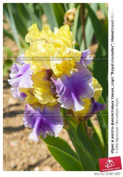 """Купить «Ирис в жёлто-фиолетовых тонах, сорт """"Royal crusader"""", Никитский ботанический сад, Ялта», фото № 4491687, снято 19 мая 2012 г. (c) ИВА Афонская / Фотобанк Лори"""