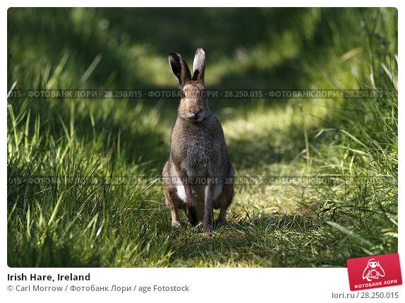 Купить «Irish Hare, Ireland», фото № 28250015, снято 7 мая 2017 г. (c) age Fotostock / Фотобанк Лори