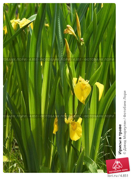Ирисы в траве, фото № 4851, снято 18 июня 2006 г. (c) Давид Мзареулян / Фотобанк Лори