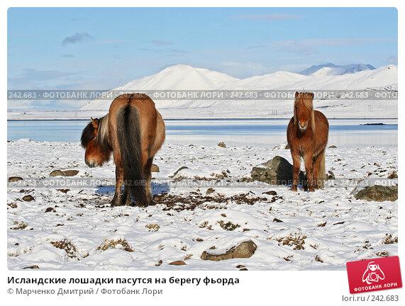 Купить «Исландские лошадки пасутся на берегу фьорда», фото № 242683, снято 8 марта 2008 г. (c) Марченко Дмитрий / Фотобанк Лори