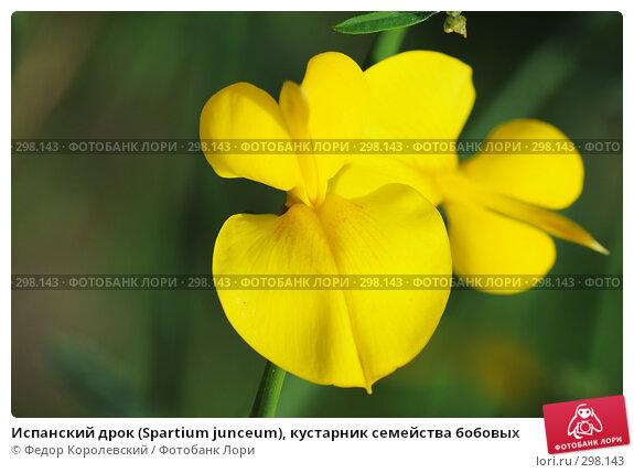 Испанский дрок (Spartium junceum), кустарник семейства бобовых, фото № 298143, снято 24 мая 2008 г. (c) Федор Королевский / Фотобанк Лори