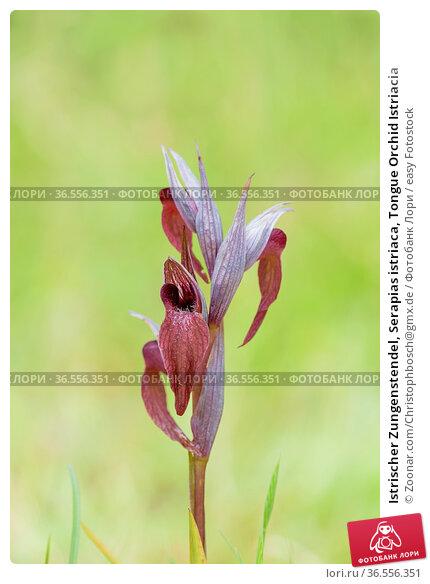 Istrischer Zungenstendel, Serapias istriaca, Tongue Orchid Istriacia. Стоковое фото, фотограф Zoonar.com/Christophbosch@gmx.de / easy Fotostock / Фотобанк Лори