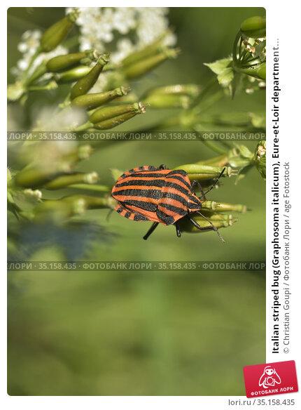 Italian striped bug (Graphosoma italicum), Eure-et-Loir department... Стоковое фото, фотограф Christian Goupi / age Fotostock / Фотобанк Лори