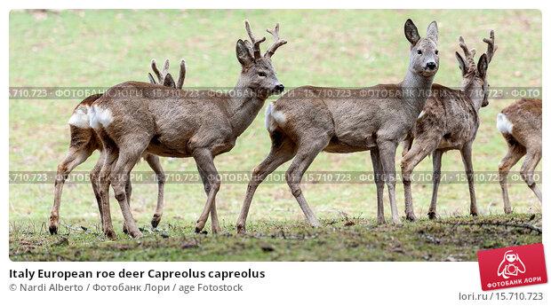 roe deer analysis