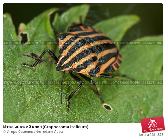 Итальянский клоп (Graphosoma italicum), фото № 281875, снято 24 июля 2007 г. (c) Игорь Семенов / Фотобанк Лори