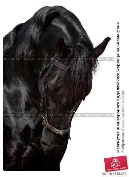 Изогнутая шея вороного андалузского жеребца на белом фоне, фото № 330647, снято 24 апреля 2008 г. (c) Абрамова Ирина / Фотобанк Лори