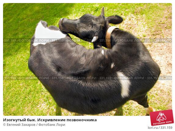 Изогнутый бык. Искривление позвоночника, фото № 331159, снято 31 мая 2008 г. (c) Евгений Захаров / Фотобанк Лори
