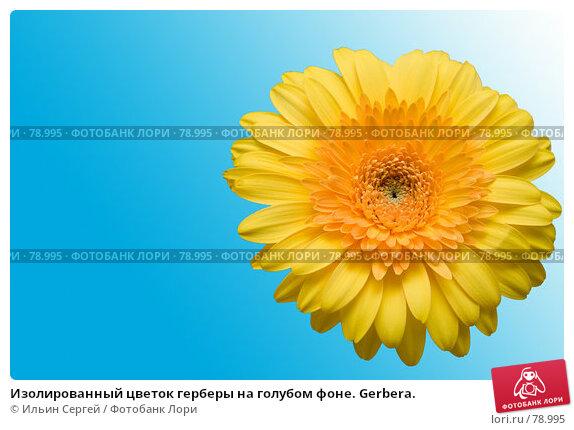 Изолированный цветок герберы на голубом фоне. Gerbera., фото № 78995, снято 10 августа 2007 г. (c) Ильин Сергей / Фотобанк Лори