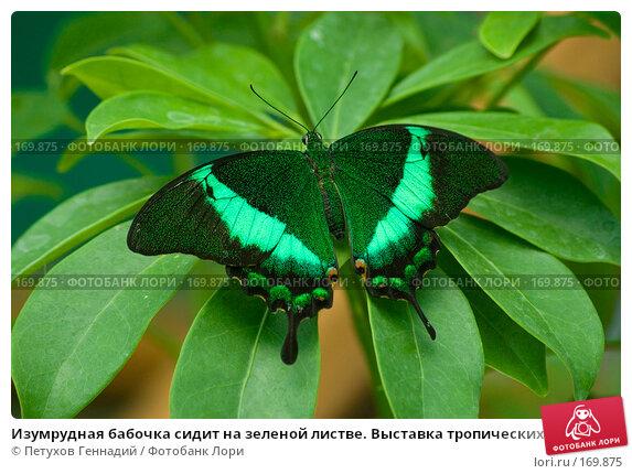 Изумрудная бабочка сидит на зеленой листве. Выставка тропических бабочек на ВВЦ, фото № 169875, снято 30 июня 2007 г. (c) Петухов Геннадий / Фотобанк Лори