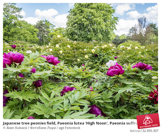 Japanese tree peonies field, Paeonia lutea 'High Noon', Paeonia suffruticosa 'Yagumo'. Стоковое фото, фотограф Alain Kubacsi / age Fotostock / Фотобанк Лори