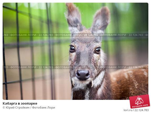 Купить «Кабарга в зоопарке», фото № 22124783, снято 31 мая 2015 г. (c) Юрий Стройкин / Фотобанк Лори