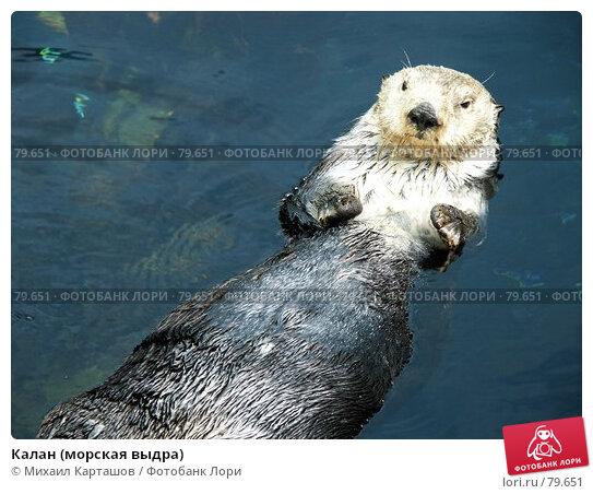 Калан (морская выдра), эксклюзивное фото № 79651, снято 10 августа 2007 г. (c) Михаил Карташов / Фотобанк Лори
