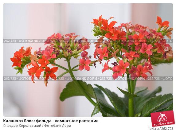 Каланхоэ Блоссфельда - комнатное растение, фото № 262723, снято 25 апреля 2008 г. (c) Федор Королевский / Фотобанк Лори