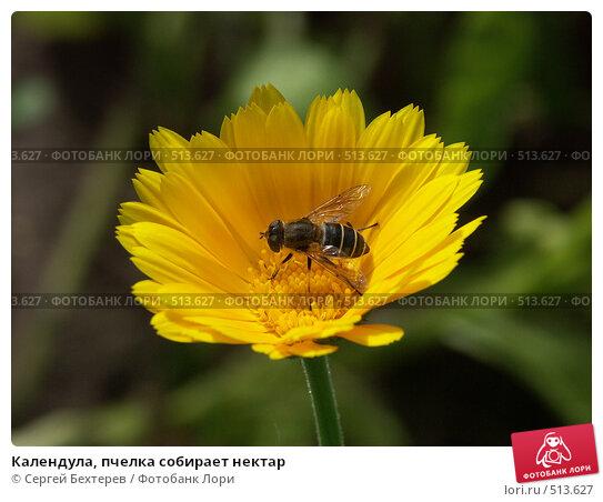 Купить «Календула, пчелка собирает нектар», фото № 513627, снято 22 августа 2004 г. (c) Сергей Бехтерев / Фотобанк Лори