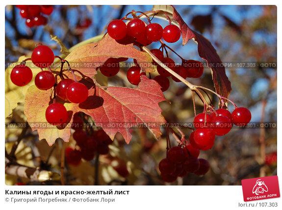 Калины ягоды и красно-желтый лист, фото № 107303, снято 13 октября 2007 г. (c) Григорий Погребняк / Фотобанк Лори