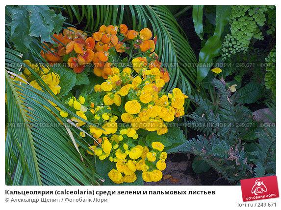 Кальцеолярия (calceolaria) среди зелени и пальмовых листьев, эксклюзивное фото № 249671, снято 6 апреля 2008 г. (c) Александр Щепин / Фотобанк Лори