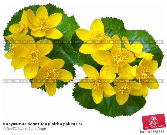 Калужница болотная (Caltha palustris), фото № 326383, снято 29 апреля 2008 г. (c) RedTC / Фотобанк Лори