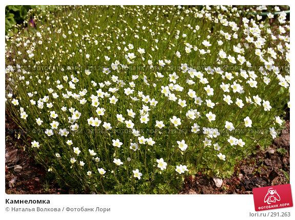 Камнеломка, фото № 291263, снято 18 мая 2008 г. (c) Наталья Волкова / Фотобанк Лори