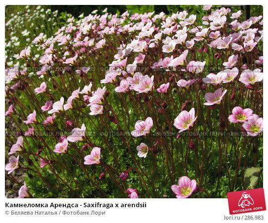 Камнеломка Арендса - Saxifraga x arendsii, фото № 286983, снято 12 июня 2007 г. (c) Беляева Наталья / Фотобанк Лори