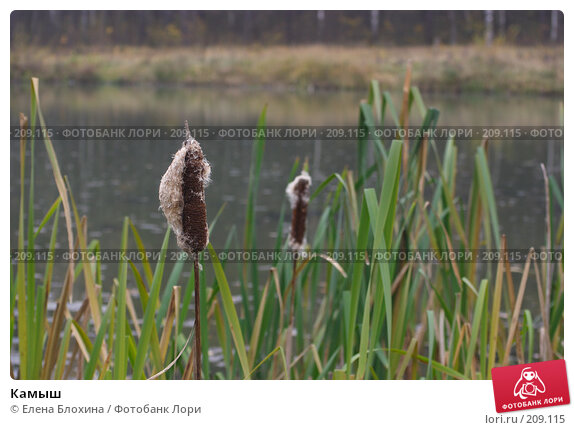 Купить «Камыш», фото № 209115, снято 26 октября 2007 г. (c) Елена Блохина / Фотобанк Лори