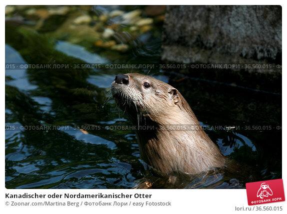 Kanadischer oder Nordamerikanischer Otter. Стоковое фото, фотограф Zoonar.com/Martina Berg / easy Fotostock / Фотобанк Лори