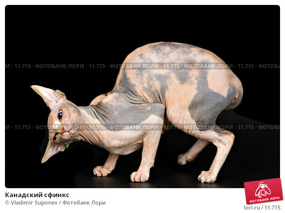 Канадский сфинкс, фото № 11715, снято 11 сентября 2005 г. (c) Vladimir Suponev / Фотобанк Лори